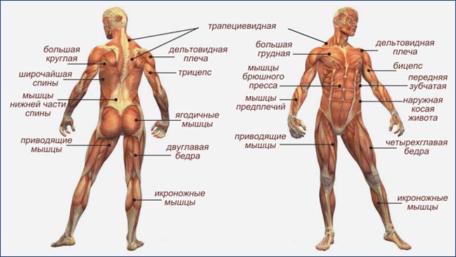 Мышцы. имеющие наибольшее